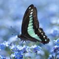青筋揚羽蝶