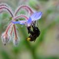 写真: ポリジと蜂