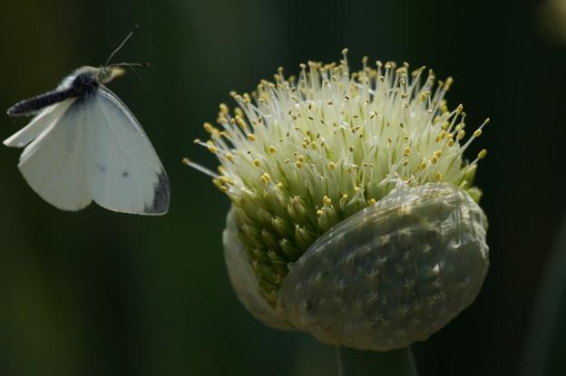 ネギ坊主と蝶