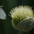 Photos: ネギ坊主と蝶