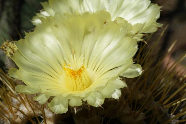 サボテンの花