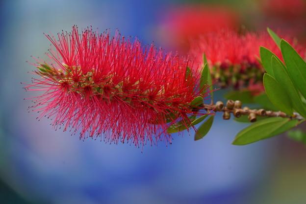 ブラシの花