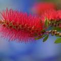 写真: ブラシの花