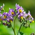 写真: ジャガイモの花