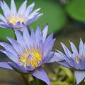 Photos: 青い睡蓮