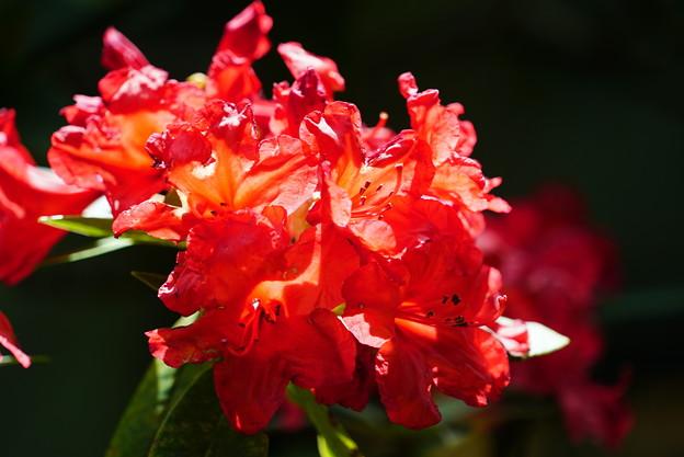 輝く石楠花