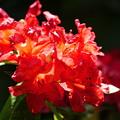 写真: 輝く石楠花