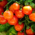 ミニトマト