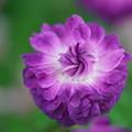 写真: 紫の薔薇