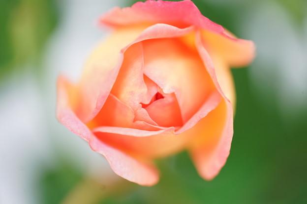 開花直前の薔薇