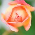 写真: 開花直前の薔薇