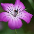 昆虫とムギセンノウ