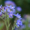 写真: 青い花