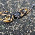 写真: 蜂を運ぶアリ