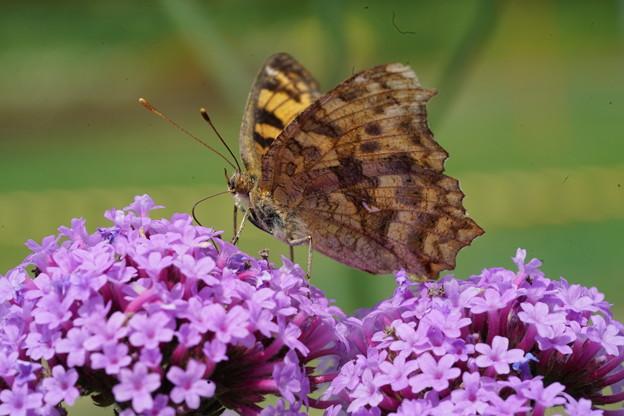 写真: 花とタテハチョウ
