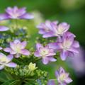 写真: 紫陽花の花