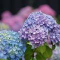 写真: 紫陽花の花々