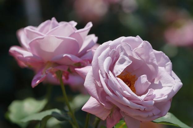 Photos: 紫香