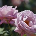 写真: 紫香