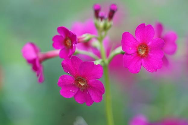 赤花クリン草