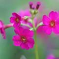 写真: 赤花クリン草