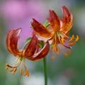Photos: ユリの花