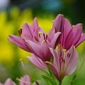 写真: 百合の花々