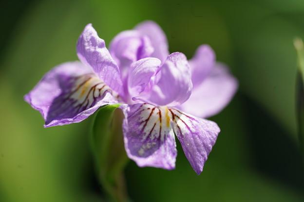 八重咲ヒメシャガ