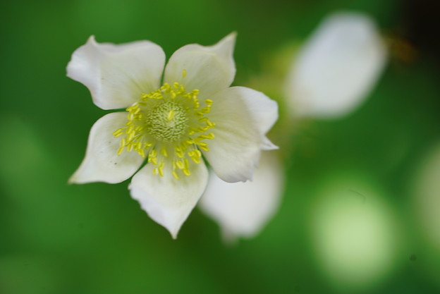 春咲シュウメイギク