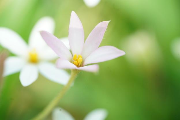 写真: 白いアッツ桜