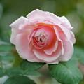 写真: ピンクパウダーパフ
