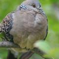 写真: 鳩