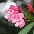 写真: 夾竹桃