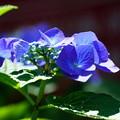 写真: 青い紫陽花