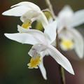 写真: 白花シラン