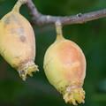 写真: 蝋梅の実