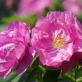 写真: 食香バラ