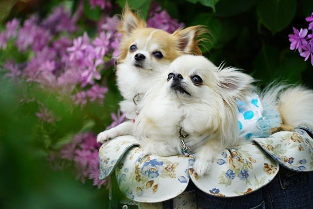 Photos: 紫陽花と犬