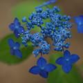 写真: 山紫陽花