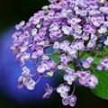 写真: 我が家の紫陽花