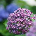 写真: 庭の紫陽花