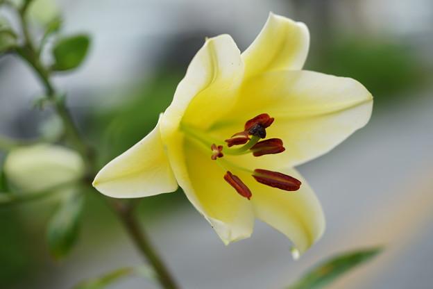 黄色い百合