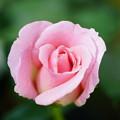 写真: ピンク・フレンチレース