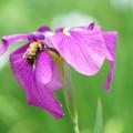 写真: 蜂と花菖蒲