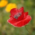 写真: 赤いポピー