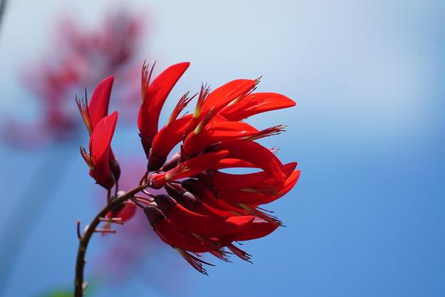 写真: 珊瑚紫豆