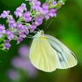 写真: 黄蝶
