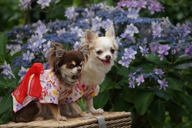 犬と紫陽花
