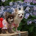 写真: 犬と紫陽花