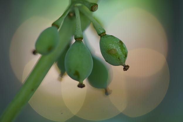 白花ハッカクレンの種